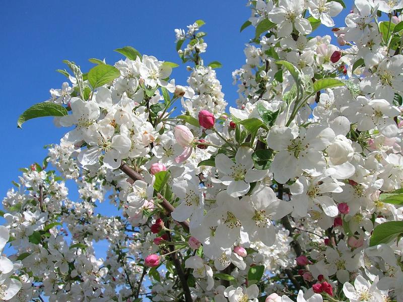 Viveros candamo especialistas en manzano de sidra y otros for Viveros en asturias